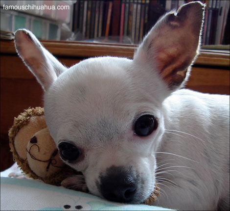 sweet angel-caramelo, an adorable tiny deerhead chihuahua from mexico