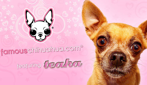 chihuahua wallpaper. chihuahua wallpaper to all