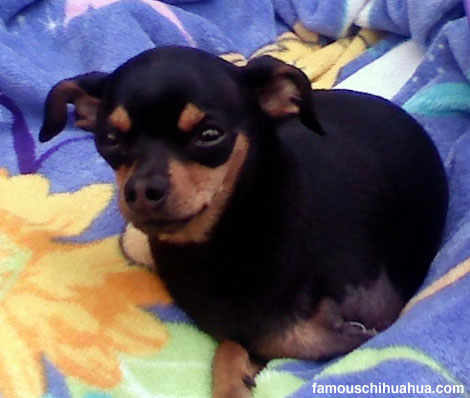 the story of cheeto, the three-legged chihuahua that was rescued by his two wonderful new parents, cory and danielle