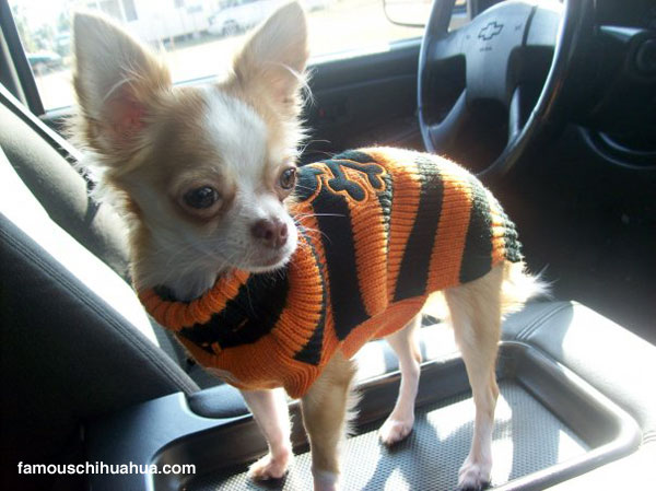 zombie bear the chihuahua patiently waits in the car with an expression on her cute little face that says, hurry up mommy!