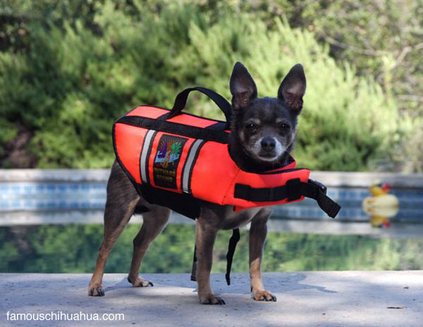 miss molly, the blue chihuahua that swims safe in her sporty life jacket!