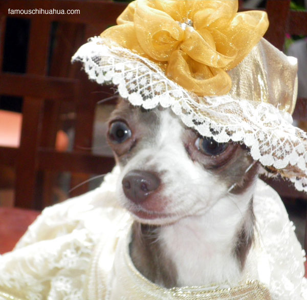 lil bella lucy, the lucille ball of chihuahua entertainment!