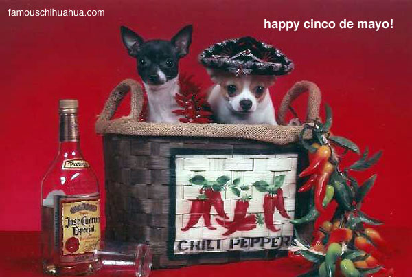 two hot chihuahua tamales? two little chihuahua peppers? chihuahuas caramelo and domino celebrate cinco de mayo at famous chihuahua!