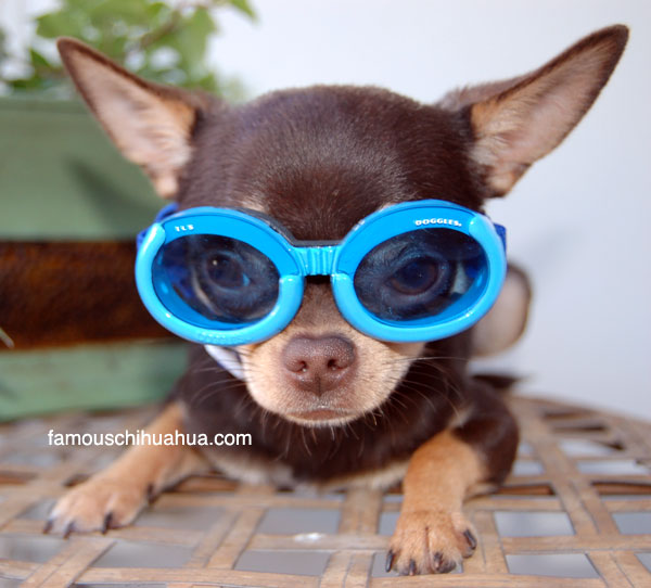 chihuahua picture you've ever seen or what?!?! | famous chihuahua