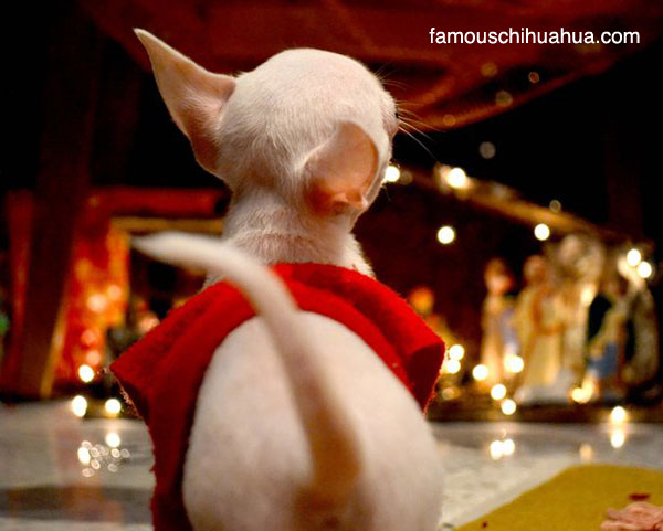 and our christmas chihuahua contest winner is curious chihuahua ...