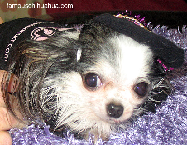 the world's smallest dog! a famous chihuahua dog clothes model!