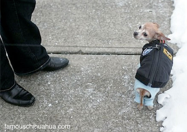 the dog jacket chico the chihuahua was wearing when he was attacked by the owl