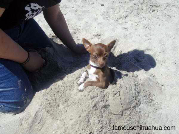 have you seen this stolen chihuahua?