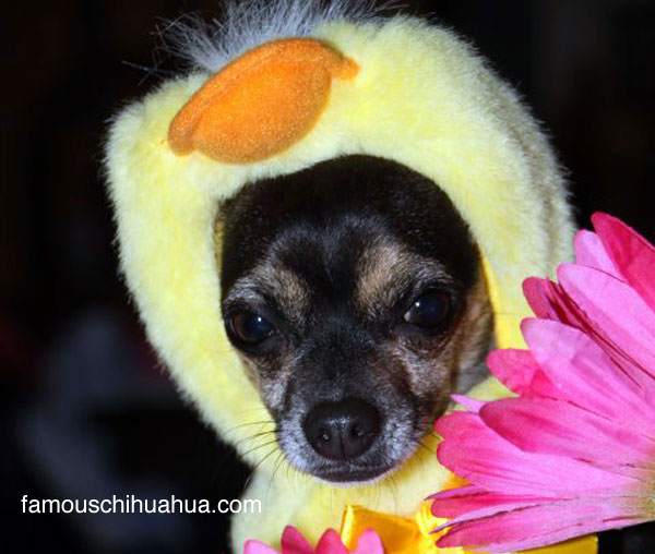 is your chihuahua the next famous chihuahua?