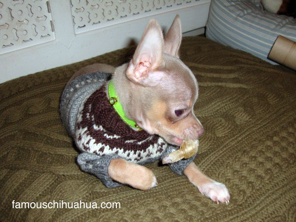 ahoy! i'm zack and chihuahua fashion is my thang
