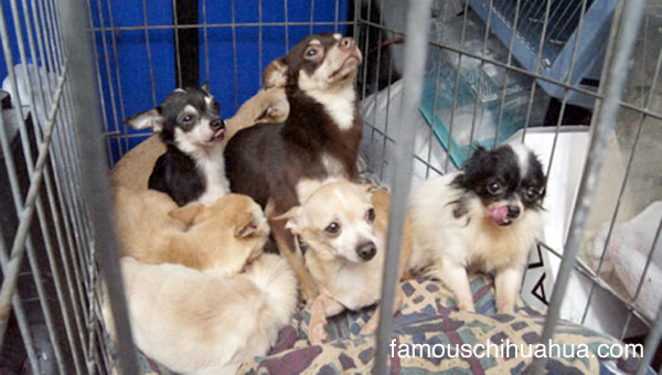 33 chihuahuas rescued from squalor