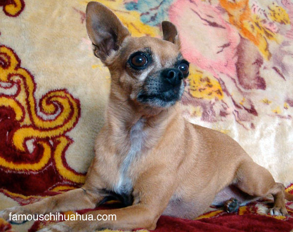 teaka the famous chihuahua is a short-haired, smooth-coat chihuahua