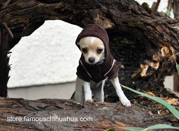 is your chihuahua the next famous chihuahua fashion model?