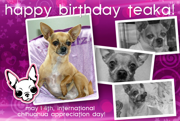 teaka, chihuahua appreciation day