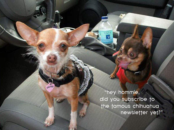 hey hommie, did you subscribe to the famous chihuahua newsletter yet?