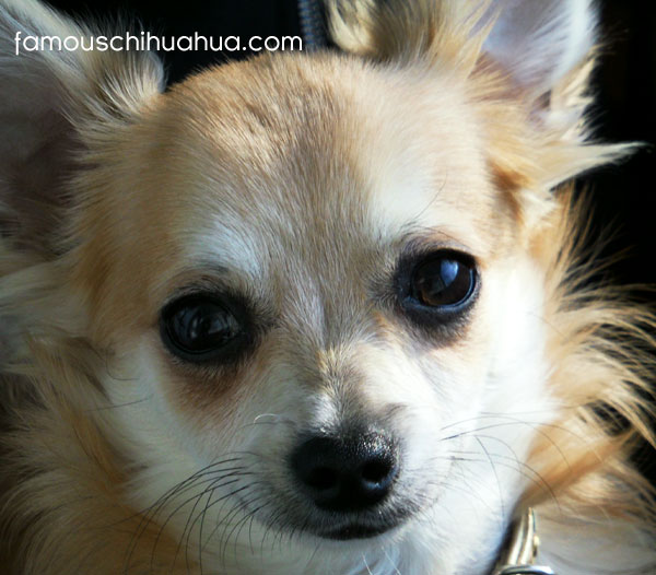 my dream is to be a famous chihuahua model!