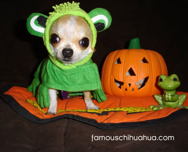 quigley the chihuahua frog! & and the winner of famous chihuahua halloween costume contest is ...
