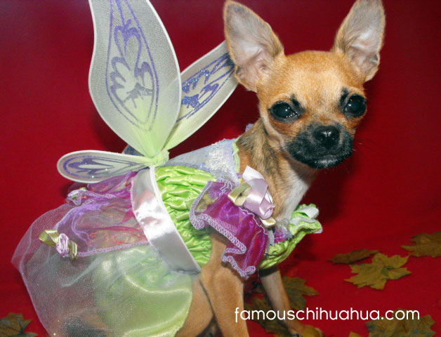 do you believe in chihuahua fairies?