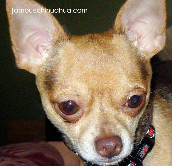 the perfect christmas gift! adopt a chihuahua!
