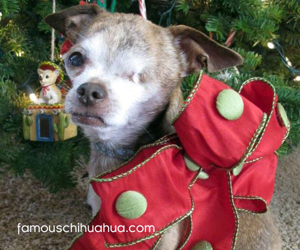harley wins the famous chihuahua christmas picture contest!