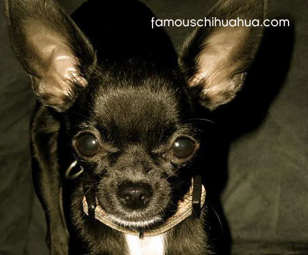 bella, the sassy little chihuahua from ohio!