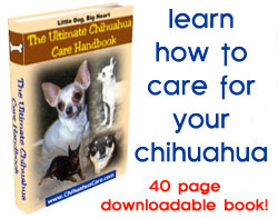 chihuahua care guide