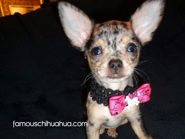 Merle Chihuahuas Potential Health Problems From The Merle Color