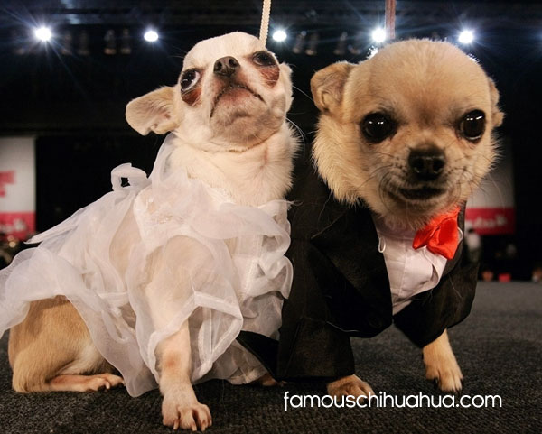 chihuahuas celebrate their love in fabulous dog wedding apparel!