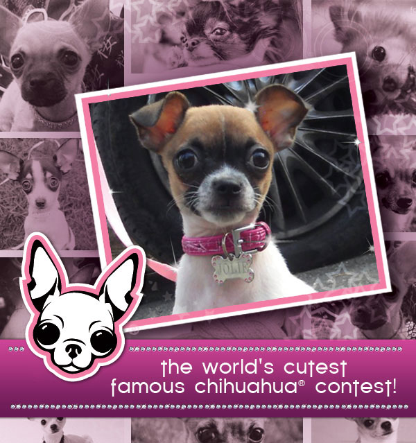 the world's cutest famous chihuahua® contest!
