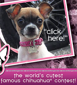 world's cutest famous chihuahua contest!