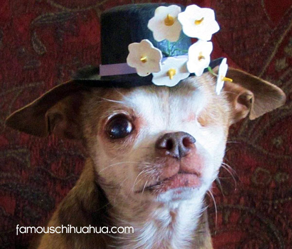 a star is born! meet harley the famous chihuahua!
