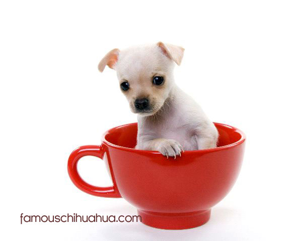 Teacup Chihuahua Puppies For Sale! Teacup Chihuahua Breeder!