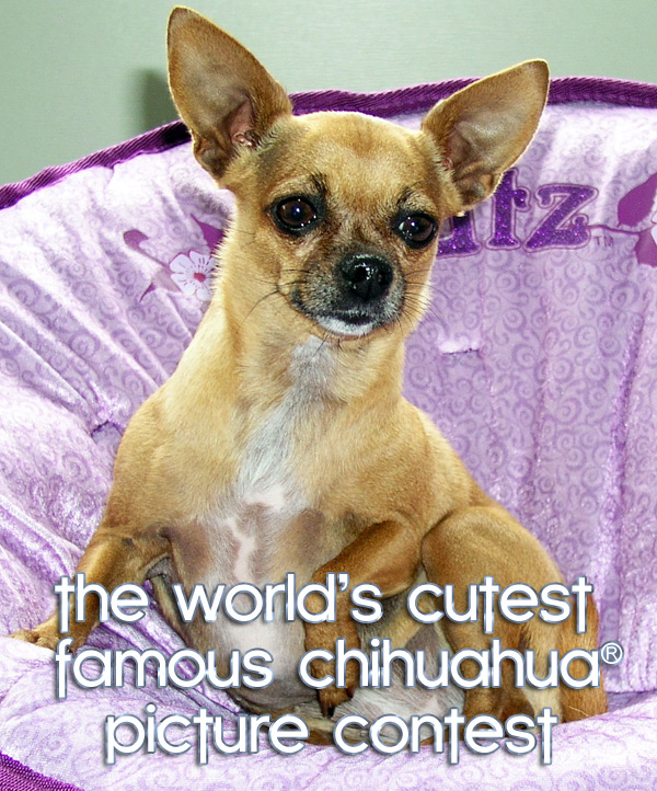 the world's cutest famous chihuahua picture contest