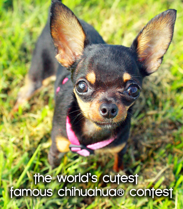 worlds-cutest-chihuahua-contest