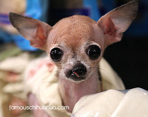 miracle chihuahua born with a cleft lip and palate famous chihuahua