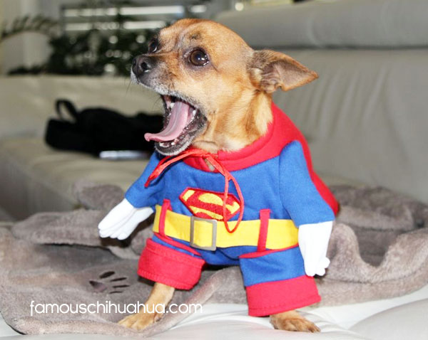 bachi as superman! & Chihuahuas in Halloween Costumes! 2012 Famous Chihuahua Halloween ...