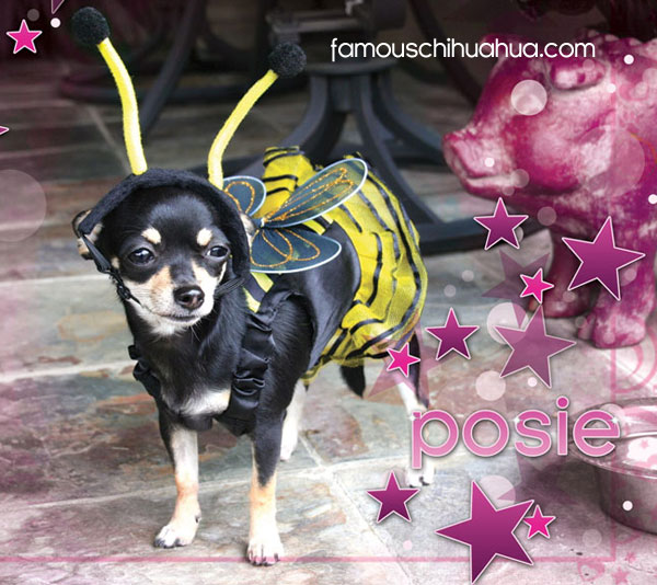 posie the chihuahua bumble bee!