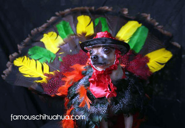 chihuahua dressed as a thanksgiving turkey