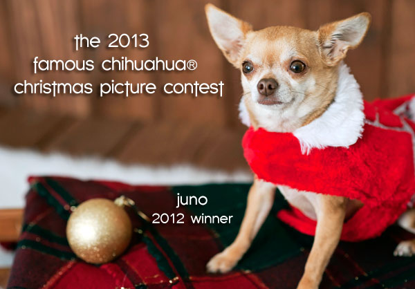 christmas chihuahua contest winner