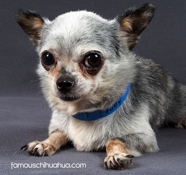 puppy mill chihuahua