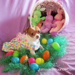 chihuahua in easter dress