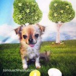 chihuahua with easter eggs