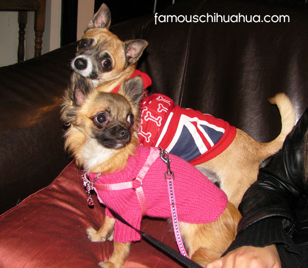 two famous chihuahuas