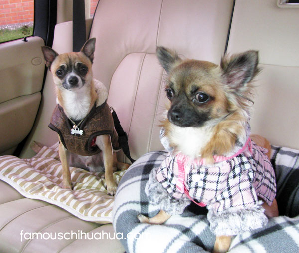 chihuahuas going for car ride