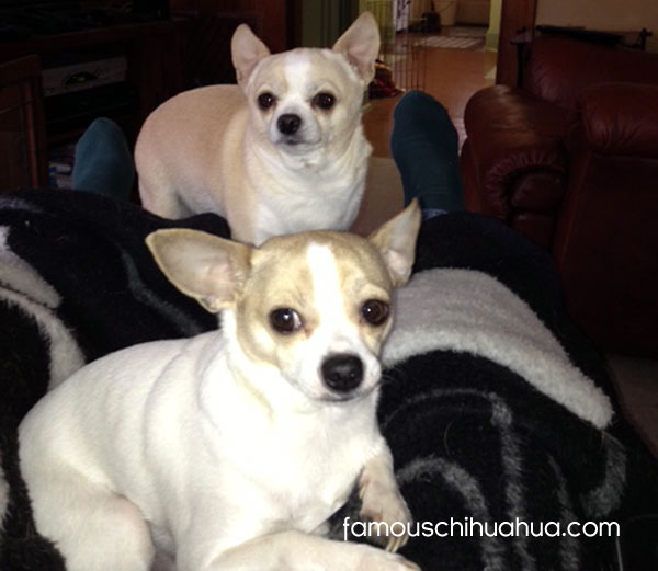 two chihuahuas on the couch