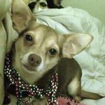 chihuahuas celebrate cinco de mayo