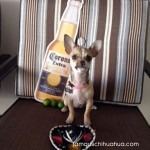 chihuahua with beer