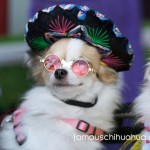 chihuahua wearing sunglasses