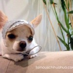 cute chihuahua in silver hat