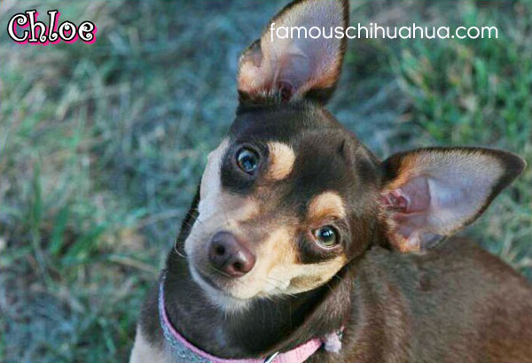 short haired chocolate color chihuahua
